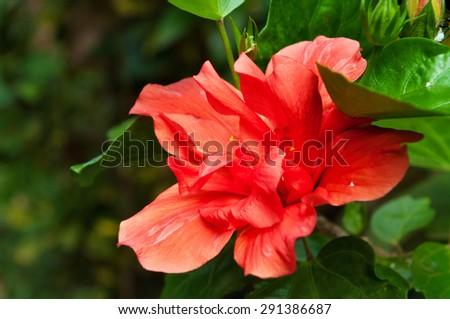 Red Hibiscus flower in garden on green background - stock photo