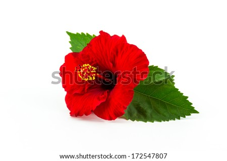 Red hibiscus flower isolated on white background. - stock photo