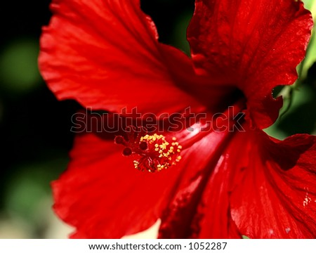red hibiscus flower stigma and stamen - stock photo