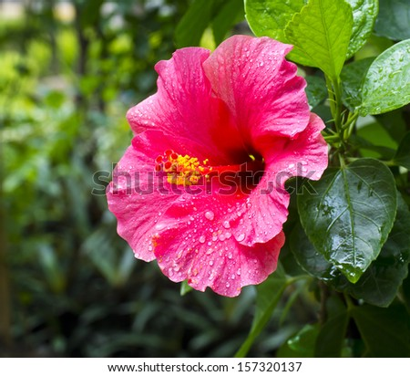 Red hibiscus flower wet rain after the rain had passed. - stock photo
