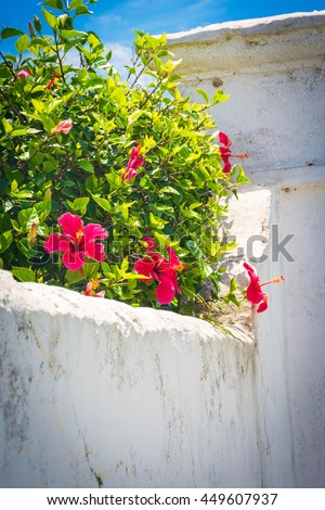 Red hibiscus growing over a rustic white wall in St. George's Bermuda. - stock photo