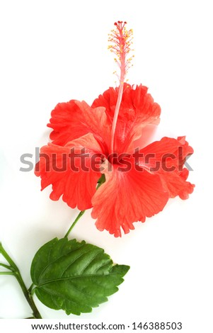 Red hibiscus isolated on white - stock photo