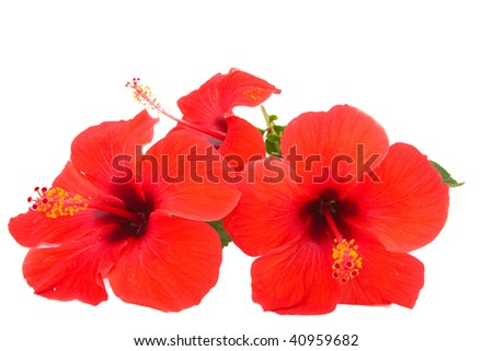 Red hibiscus isolated on white background - stock photo