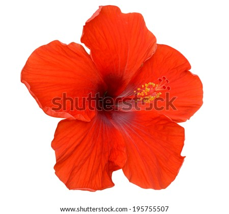 Red Hibiscus on white background - stock photo