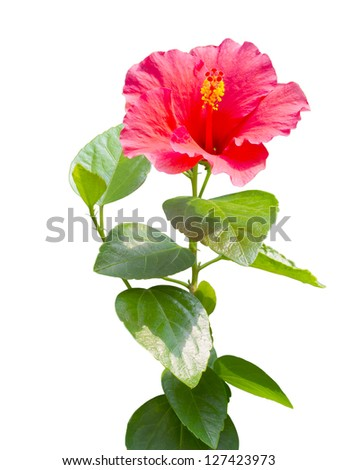 red Hibiscus,Tropical flower isolated on white background. - stock photo