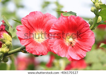 Red hollyhock flowers and bee,closeup of red flowers blooming in the garden with bee in spring  - stock photo