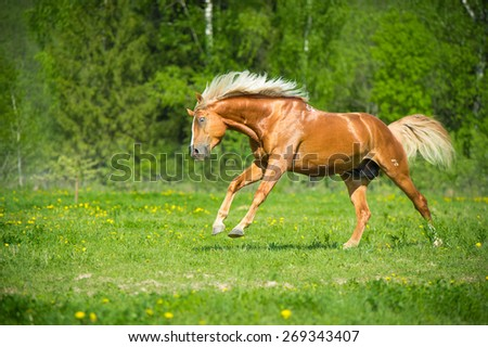 Red horse runs gallop free in summer time - stock photo