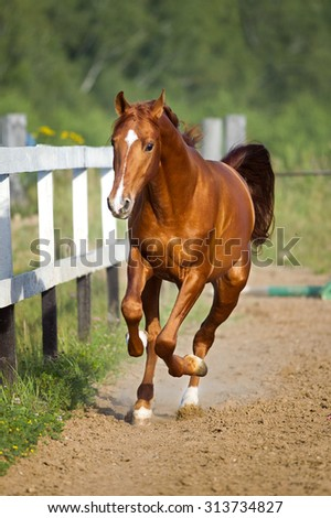 Red horse runs gallop on the pasture, summer - stock photo