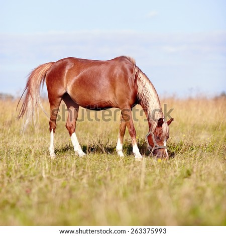 Red horse. The horse is grazed. Horse on a pasture. The horse eats a grass. Mare on a meadow. - stock photo