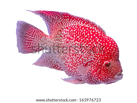 red hump head fish isolated on white background - stock photo