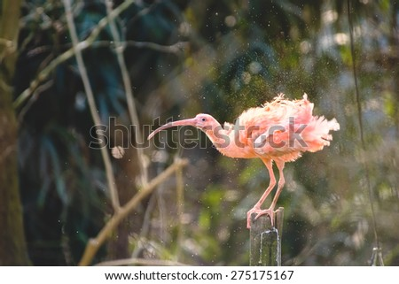 Red Ibis shaking water - stock photo