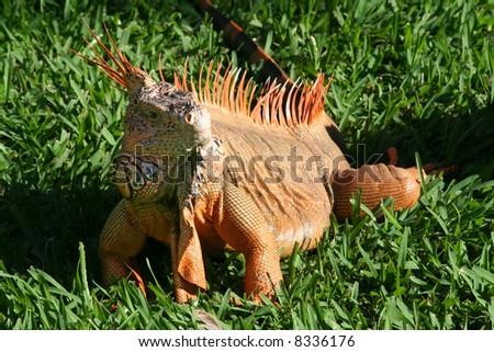 Red Iguana - stock photo