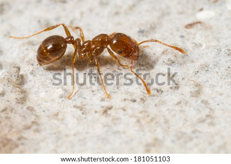 Red Imported Fire Ant, Solenopsis invicta - stock photo