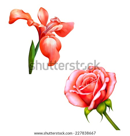 Red iris flower isolated on white background, illustration, of a pink iris blossom with bud on a white background. - stock photo
