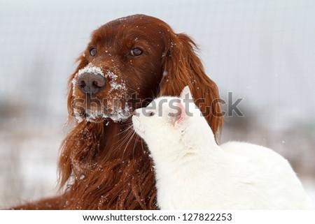 Red irish setter dog and white cat in snow - stock photo