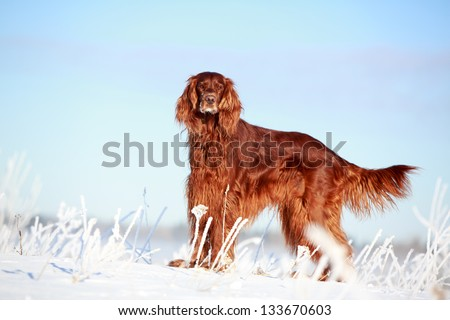 Red irish setter dog in snow field - stock photo