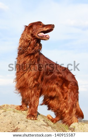Red irish setter dog on rock - stock photo
