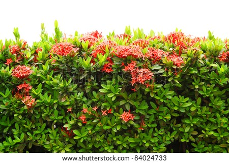 Red Ixora coccinea (or Jungle Geranium, Flame of the Woods, and Jungle Flame) isolated on white background - stock photo