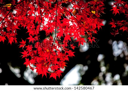 red japanese maple autumn fall - stock photo