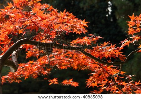 Red japanese maple (Kyoto) - stock photo