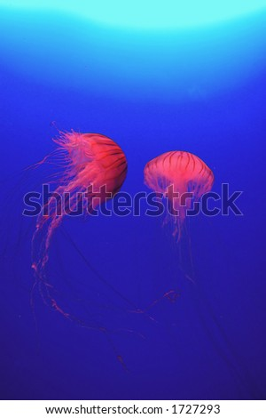 Red jellyfish against blue water background - stock photo