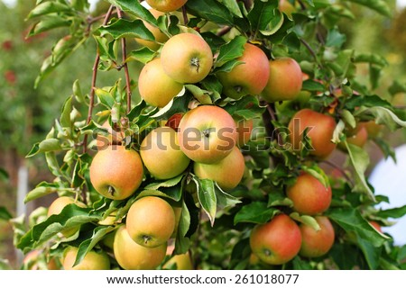 Red jonagold apples on apple tree branch - stock photo
