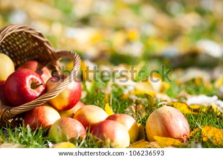 Red juicy apples scattered on yellow leaves in autumn - stock photo