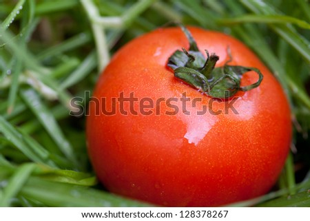 red juicy tomato on a background of green grass - stock photo