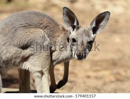 Red Kangaroo baby  - stock photo
