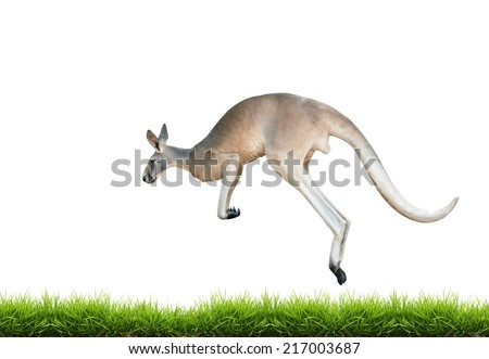 red kangaroo jump on green grass isolated on white background - stock photo