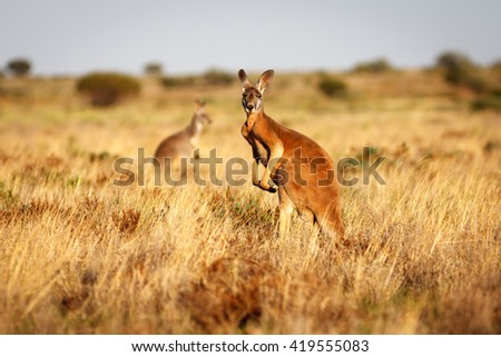 Red Kangaroo standing up in grasslands in the Australian Outback - stock photo
