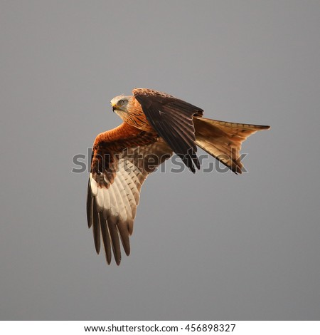 Red Kite in flight against a grey sky - stock photo