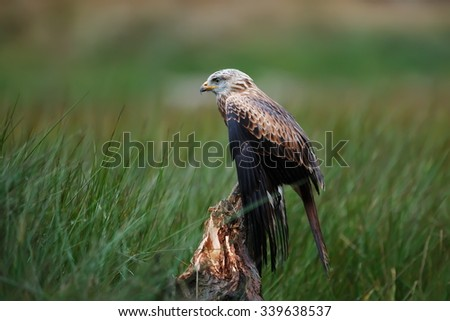 Red kite lying in wait for prey - stock photo