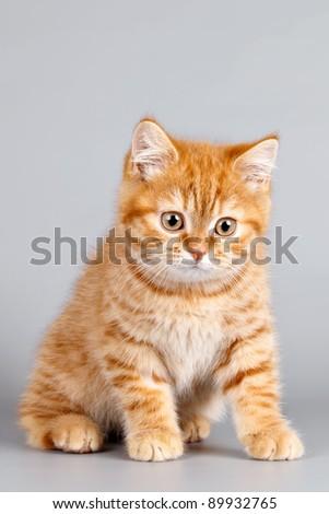 Red kitten on grey background - stock photo