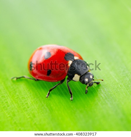 red ladybird on green leaf - stock photo