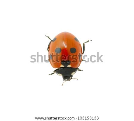 red ladybug isolated on the white - stock photo