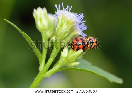Red ladybug mating on a beautiful flower with green background  - stock photo