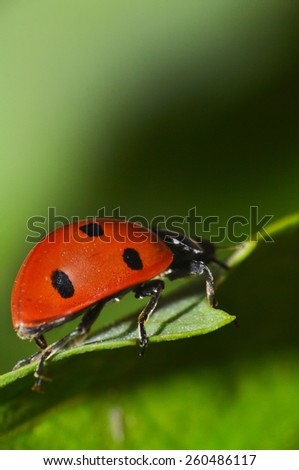 red ladybug on a green leaf in the grass - stock photo