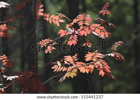 red leaves in the northeast of china - stock photo