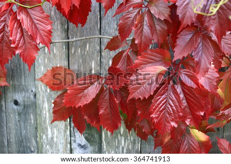 red leaves of decorative grapes on a wall fall - stock photo