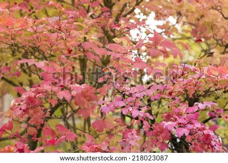 red leaves of Viburnum - stock photo