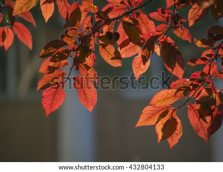 Red leaves tree branch in backlight, natural fall vivid background - stock photo
