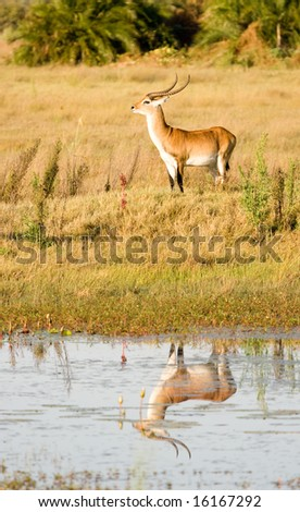 Red Lechwe and reflection (Kobus leche) - stock photo