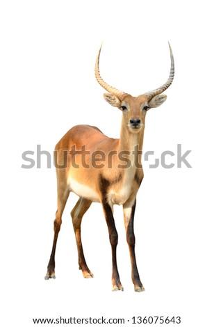 red lechwe isolated on white background - stock photo