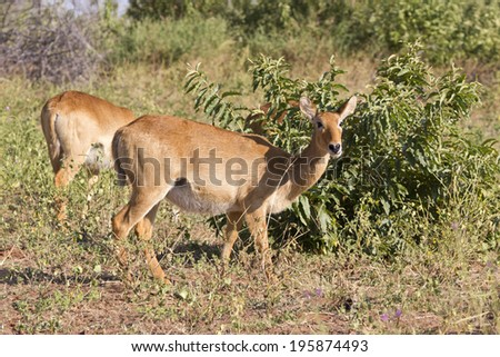 Red lechwe,  [Kobus leche leche] - stock photo