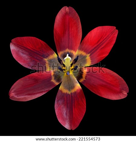 Red Lily Flower opened Isolated on Black Background - stock photo