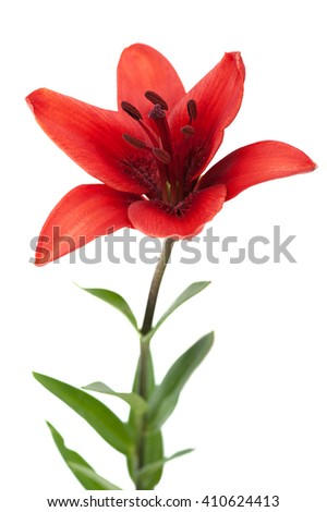 red lily isolated on white background - stock photo