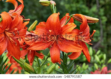 Red lily with rain droplets on the petals. Closeup - stock photo