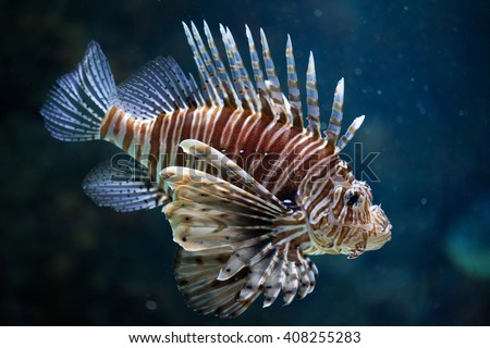 Red lionfish (Pterois volitans). Wild life animal.  - stock photo