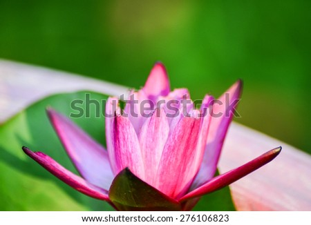 Red lotus blooming over water soft focus - stock photo